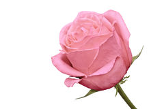The side shot of pink rose Stock Photography