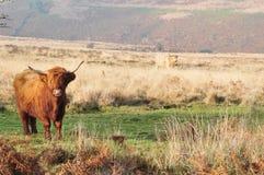 Scottish Highland cow living on moorland stock photos