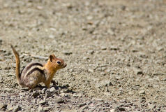 Side shot of a squirrel Chipmunk with it`s tail up. Shot at the Crater Lake National Park, Oregon, US. Side shot of a squirrel Chipmunk with it`s tail up. Shot Stock Image