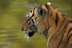 Tiger in Deep Thought royalty free stock photo