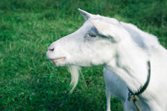 Side shot of white goat. Side view of the white goat with grassy ground at background Royalty Free Stock Photo