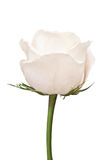 The side shot of white rose Royalty Free Stock Photo