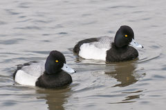 Lesser Scaup Drakes Stock Image