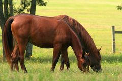 Side by Side. Two Arabian mares grazing side by side Royalty Free Stock Images