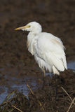 A side standing in the wetland egrets Stock Image