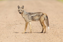 Side Striped Jackal Stock Images