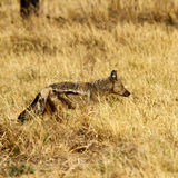 Side-striped Jackal Stock Photography