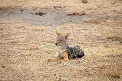 Side striped jackal (canis adustus) Royalty Free Stock Photos