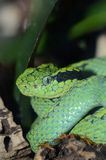 Side-striped palm pitviper Stock Images