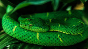 Side-striped pit viper (bothriechis lateralis) coiled Royalty Free Stock Photography