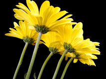 Side up shot view of yellow daisies daisy Royalty Free Stock Images