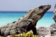 Side of Varanus   sand mexico tulum Royalty Free Stock Images