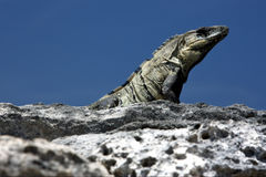 Side  Varanus   in sand mexico tulum Royalty Free Stock Images