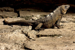 Side of Varanus   in sand   tulum Royalty Free Stock Image