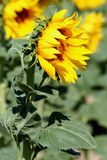 Side-view. Side view of a single sunflower in the field stock image