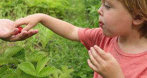Toddler eating strawberry in garden. Side view of adorable blond boy in casual t-shirt enjoying fresh strawberry in green garden with parent stock footage