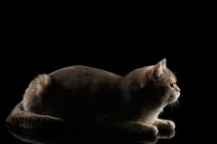 Side view of Adorable British Cat Lying, isolated on Black Stock Photography