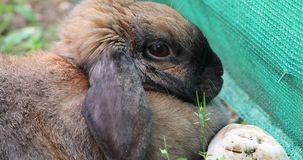 Side View Of An Adorable Brown Head Rabbit Bunny. Side View Of An Adorable Brown Head Rabbit. Bunny Lying On The Grass In The Garden. Close Up View - DCi 4K stock footage