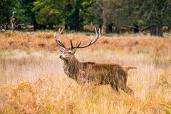 Side view of adult male red deer in open moorland. Surrounded by dry grass and bracken, looking watchfully at the viewer royalty free stock photo