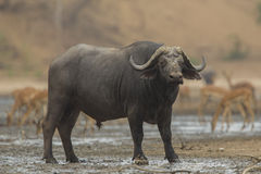 Side view of African Buffalo bull (Syncerus caffer). Looking at camera Stock Image