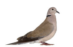 Side view of an African collared dove Royalty Free Stock Photo