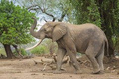 Side view of an African Elephant bull with trunk up Stock Photos