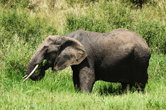 African elephant eating grass Royalty Free Stock Photos
