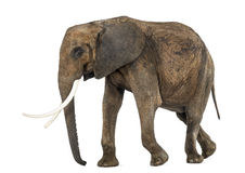 Side view of an African elephant, isolated Stock Image