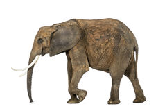 Side view of an African elephant Stock Photos