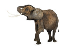 Side view of an African elephant lifting its trunk, isolated Stock Photo