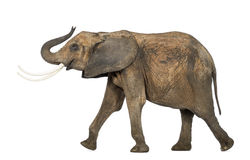 Side view of an African elephant lifting its trunk, isolated Royalty Free Stock Image