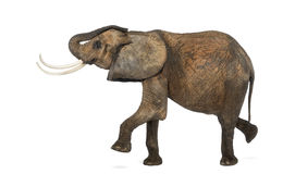Side view of an African elephant performing, isolated Stock Photography