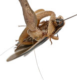 Side view of African Mantis, eating Royalty Free Stock Photos