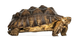 Side view of an African Spurred Tortoise standing Stock Image
