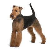 Side view of Airedale Terrier, standing Royalty Free Stock Photography