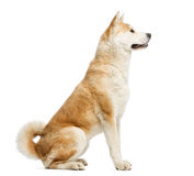 Side view of Akita Inu sitting, 2 years old Stock Photos