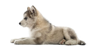 Side view of a Alaskan Malamute lying down Royalty Free Stock Photo
