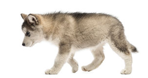 Side view Alaskan Malamute puppy walking Stock Images