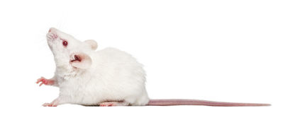 Side view of an albino white mouse looking up, Mus musculus. Isolated on white Royalty Free Stock Photos