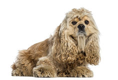 Side view of a American Cocker Spaniel (4 years old) Stock Image