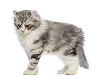 Side view of an American Curl kitten, 3 months old. In front of white background royalty free stock photo