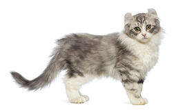 Side view of an American Curl kitten, 3 months old, looking at the camera. In front of white background stock images
