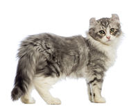 Side view of an American Curl kitten, 3 months old, looking at the camera. In front of white background royalty free stock photos