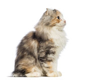 Side view of an American Curl kitten, 3 months old, sitting and looking up Stock Images