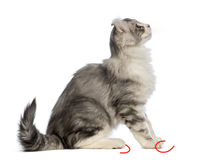 Side view of an American Curl kitten, 3 months old, sitting and looking up Royalty Free Stock Images