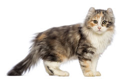 Side view of an American Curl kitten, 3 months old, standing and looking at the camera Royalty Free Stock Photo