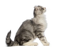 Side view of an American Curl kitten, sitting. Side view of an American Curl kitten, 3 months old, sitting and looking up in front of white background royalty free stock images