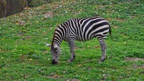 Side view of animal Grant`s zebra Equus quagga boehmi. Side view of animal Grant`s zebra Equus quagga boehmi grazing on a green meadow. Full HD stock video footage
