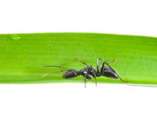 Side view of ant on grass Royalty Free Stock Photo