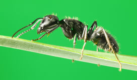 Side-view of ant on grass Stock Photography